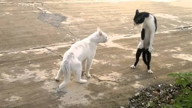 27. Кошачьи драки короткие, но очень свирепые и жестокие. Главное их оружие в драках зубы животные, коты, факты