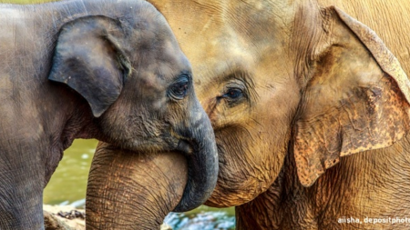 У большинства животных не бывает бабушек, но у слонов они есть, и вот почему