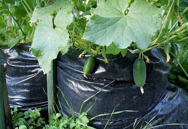 3 способа выращивания огурцов на маленьком участке огород,огурцы