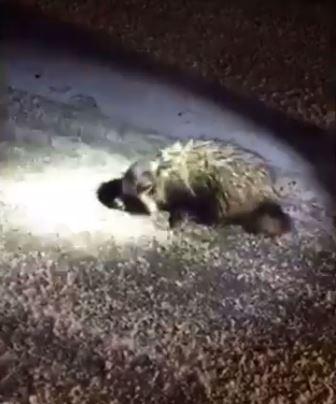 Вот так находка на дороге! В Московской области спасли енотовидную собаку, притворявшуюся мёртвой!