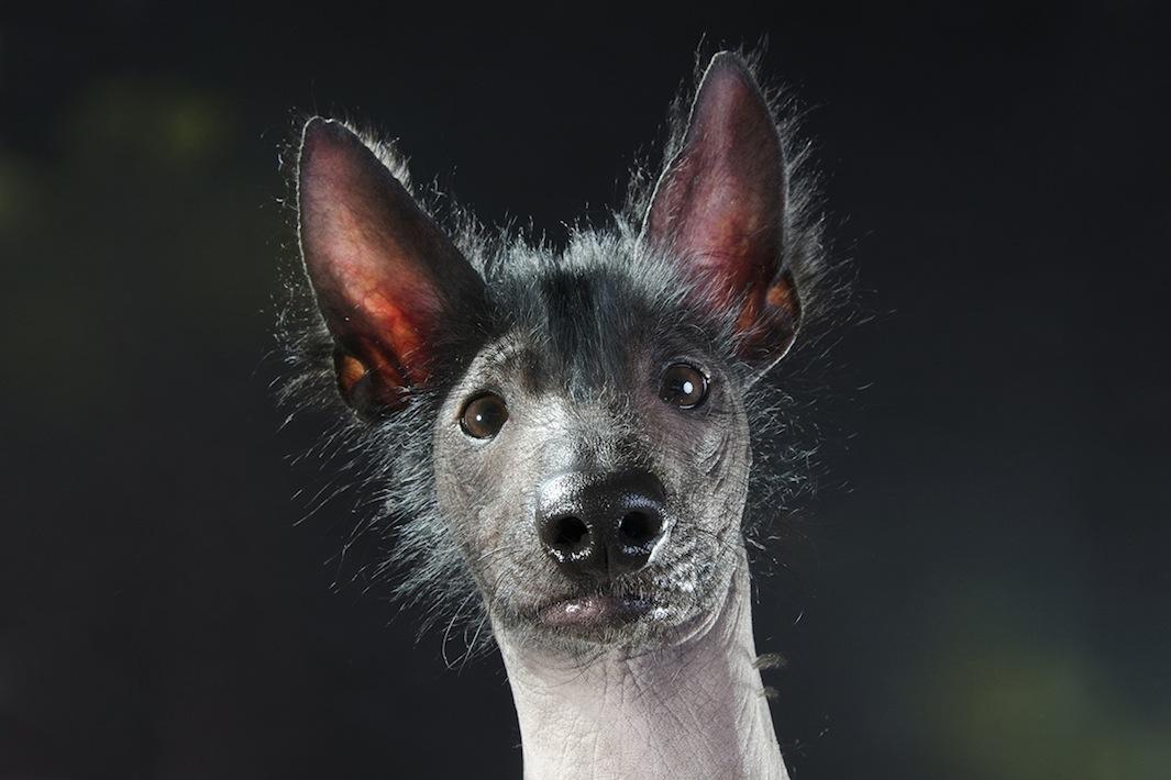 Спорная красота: голые собаки в фотографиях Софи Гаманд