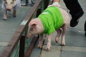 В Китае из-за африканской чумы уничтожены тысячи свиней