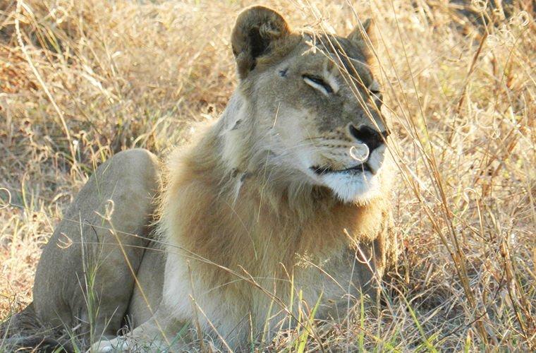 У львицы внезапно выросла грива