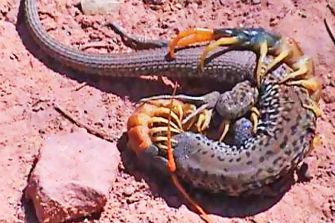 Гигантская сколопендра напала на змею: видео