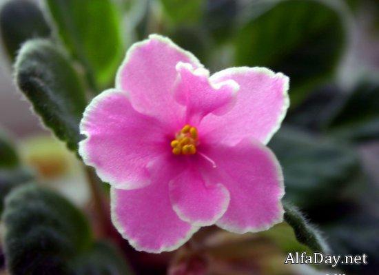 Фиалка - сказочный цветок, значение цвета
