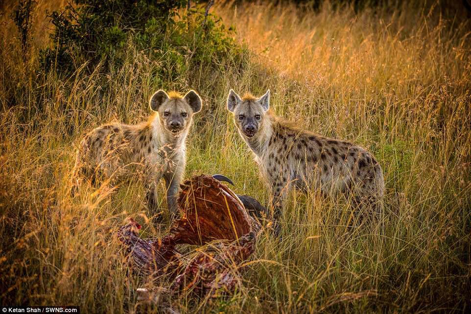 Пятнистые гиены и их обед