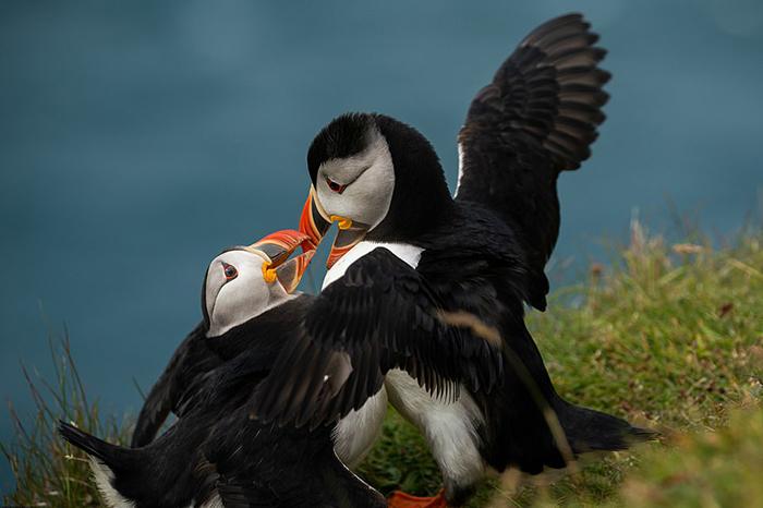 Тупик: очаровательная птица на грани исчезновения