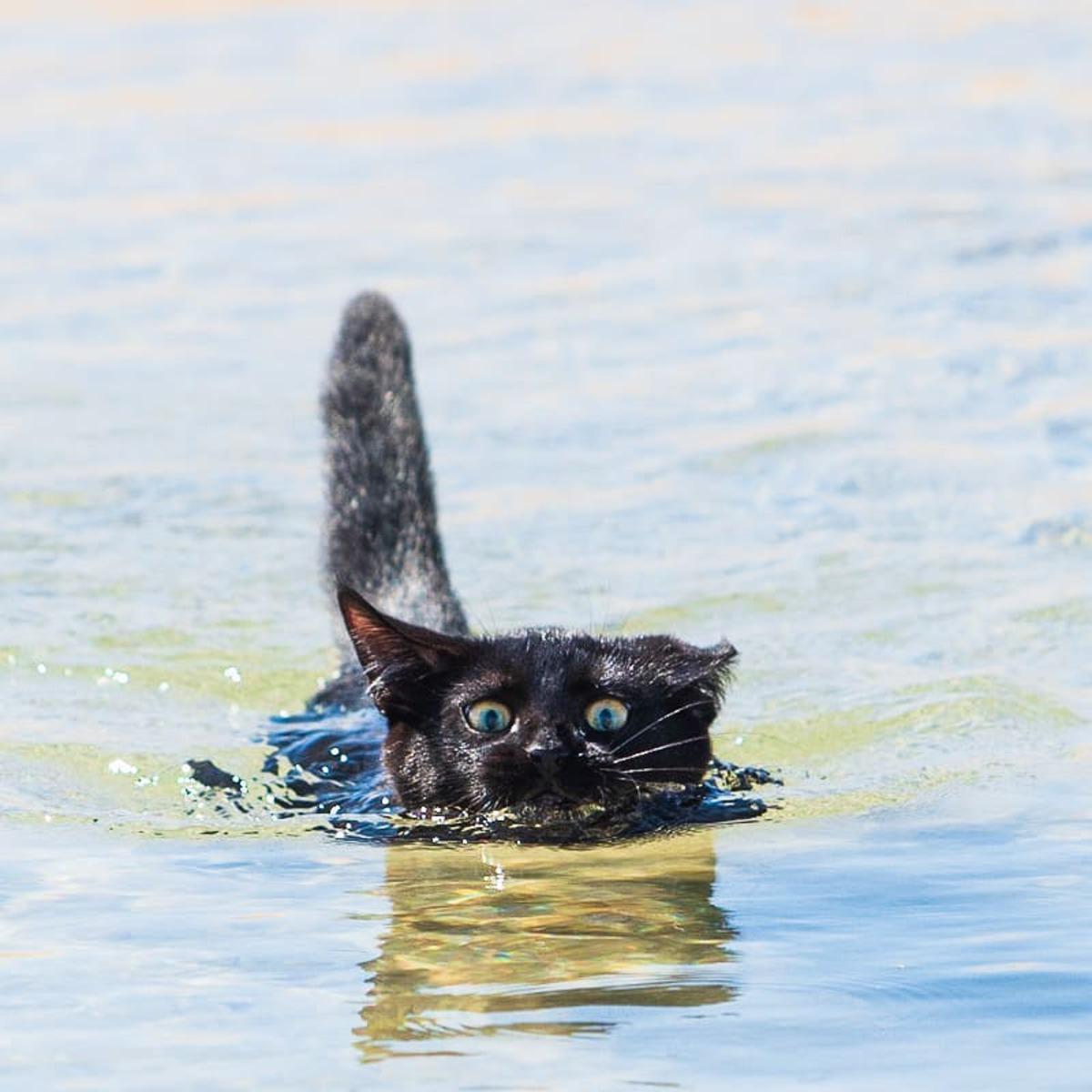 Кошка-пловчиха стала звездой Сети