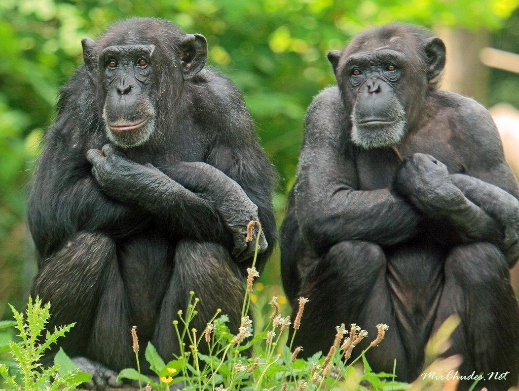 Генетически мужчина ближе к шимпанзе, чем к женщине генетика,интересное