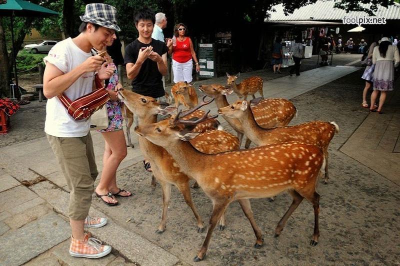 Голуби в городе Нара в Японии. голуби, животные, прикол, юмор
