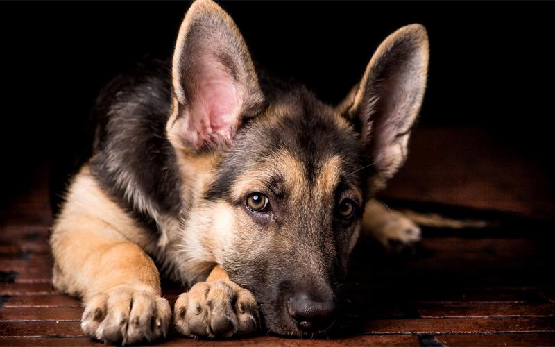 Как с нами общаются собаки