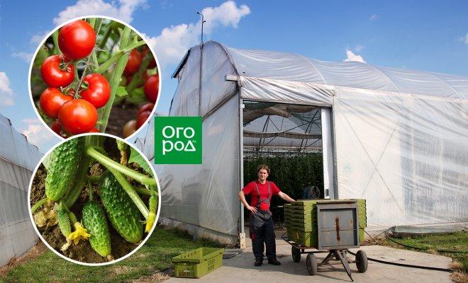 : выращивание огурцов и томатов в теплице как бизнес