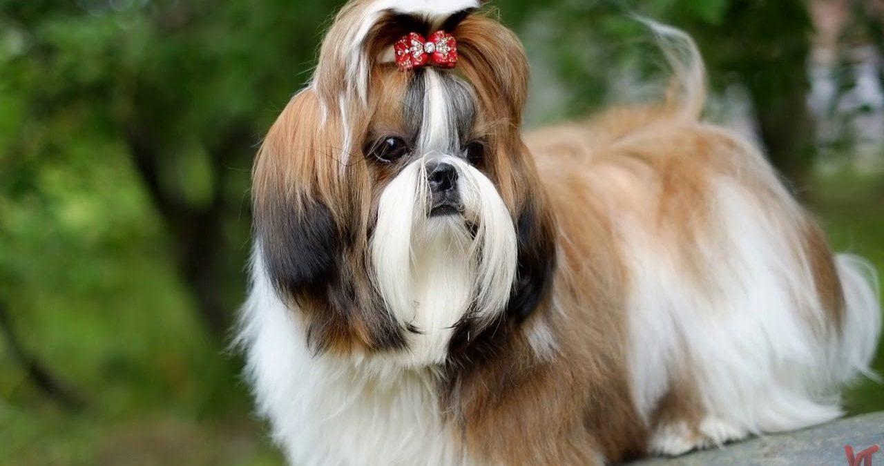Фото собак породы шицу