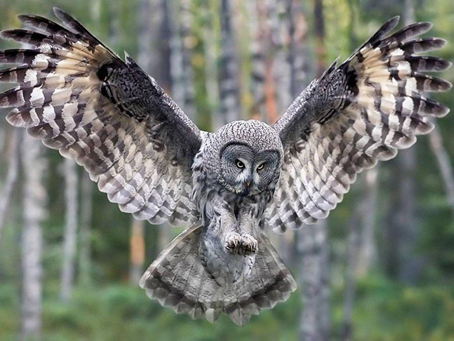 Это интересно: сова без перьев