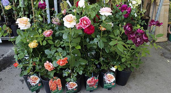 Как сохранить саженцы роз до посадки?