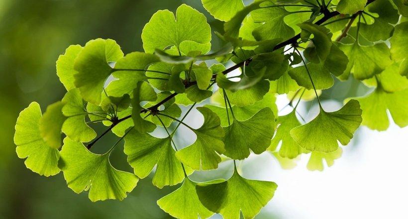 Деревья гинкго — уникальные, почти бессмертные растения
