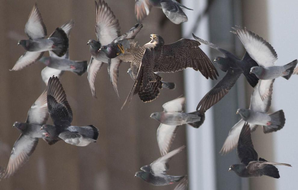 Сокол-сапсан ловит голубей