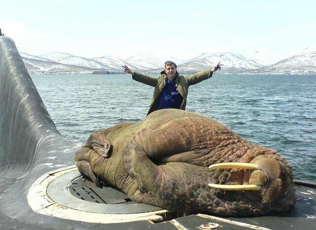 Спящий морж на подводной лодке позитив, фото, это интересно