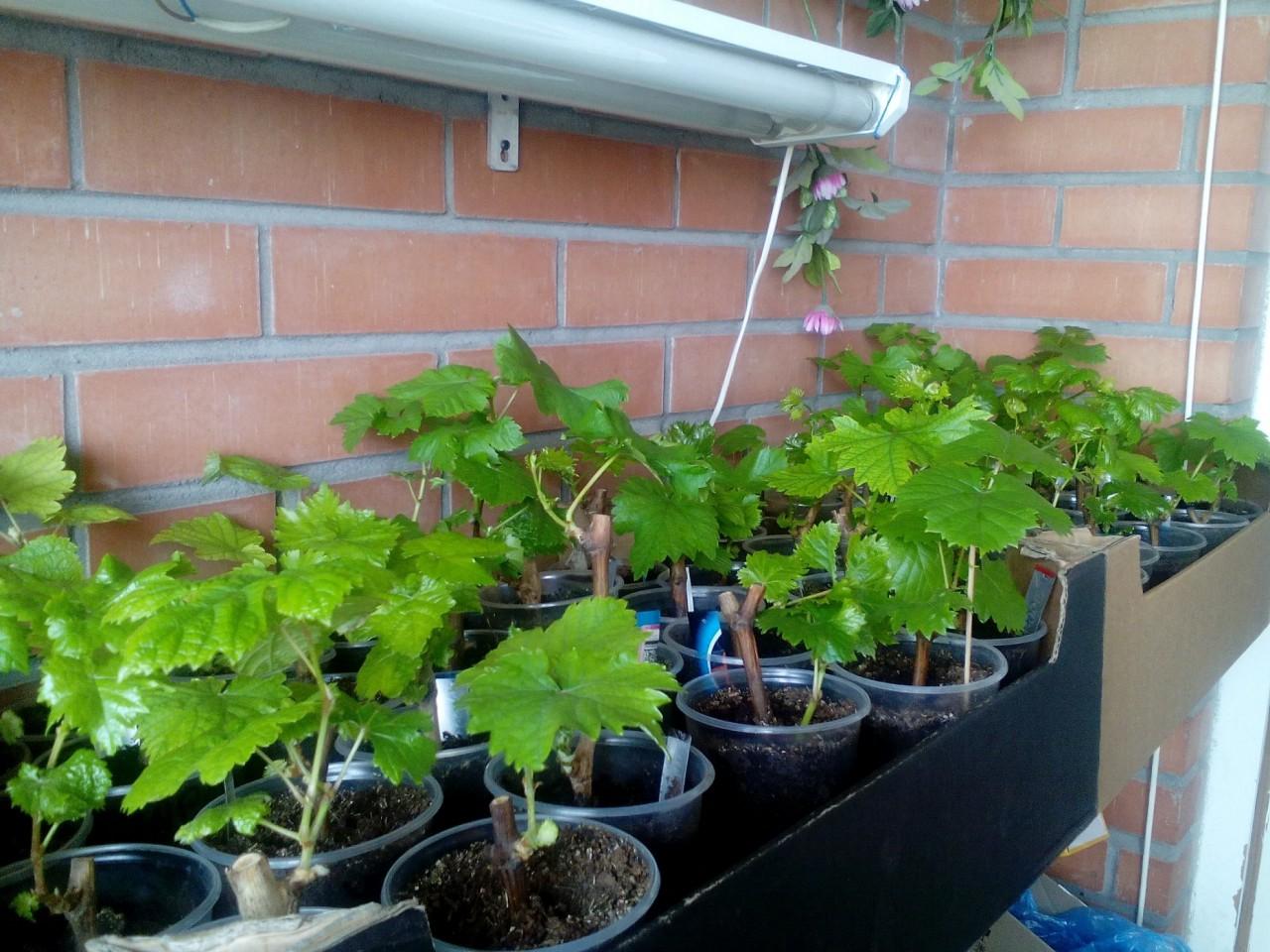 Бизнес по выращиванию винограда - как начать, бизнес-план.