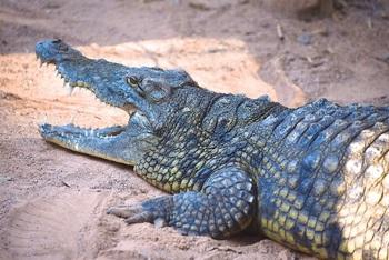 Под Коломной откроют крокодиловую ферму