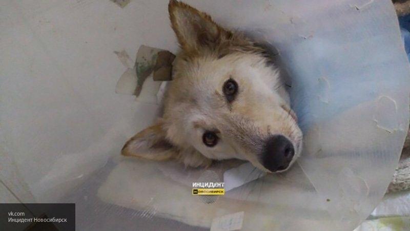Бездомную собаку расстрелял неизвестный в Новосибирске