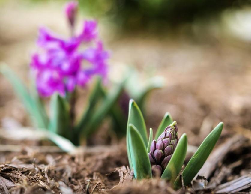 Луковичные цветы в домашних условиях: описание и фото от А до