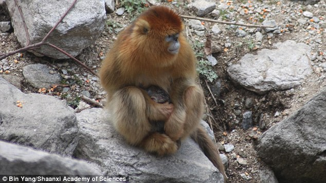 Monkeys typically give birth at night, as the cover of darkness leaves them less vulnerable than the exposure of the daytime light. This means that witnessing such an event is a rare occasion. The researchers came upon a golden snub-nosed monkey giving birth on the Qinling Mountains of China