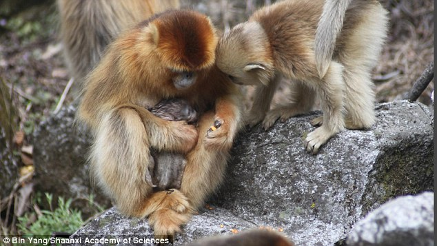 Midwives can play a critical role in bringing a newborn baby into the world, and according to researchers, that doesn¿t just apply to humans. After decades of observation, researchers have now witnessed the daytime birth of a wild golden snub-nosed monkey ¿ and the mother had help from a ¿midwife¿ the entire time