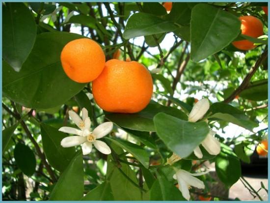 как цветет мандариновое дерево