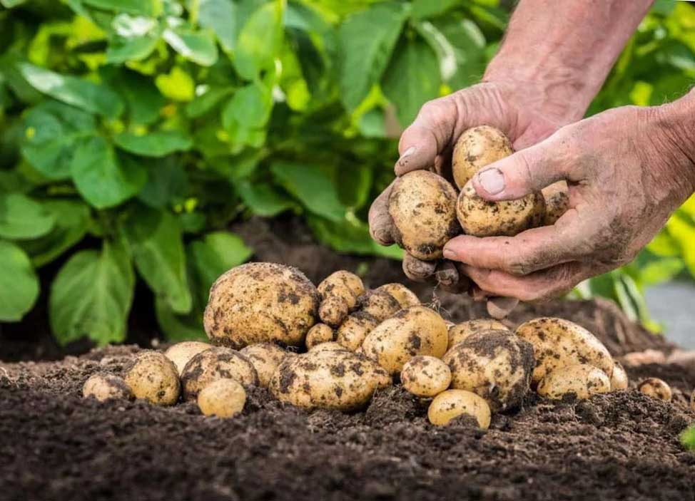 Используем очистки для... Посадки картошки