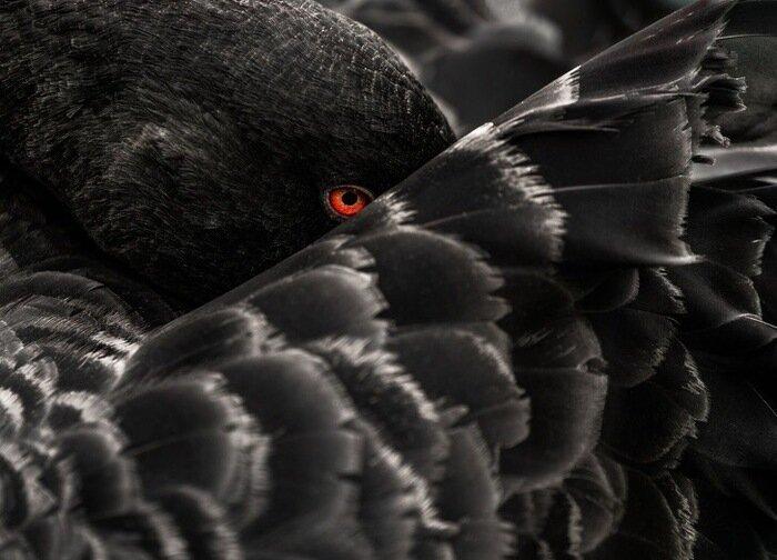 Чёрный лебедь позитив, фото, это интересно