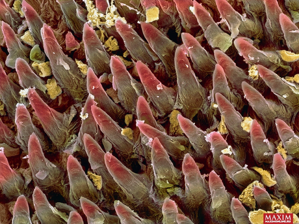 Клитер под пикроскопом
