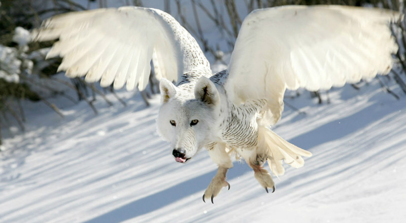 Волк-хлопотун в зимней шубке животные, прикол, юмор