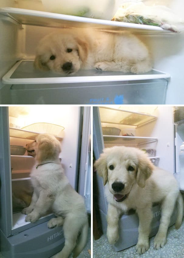Baby Golden Retriever Realize He Can