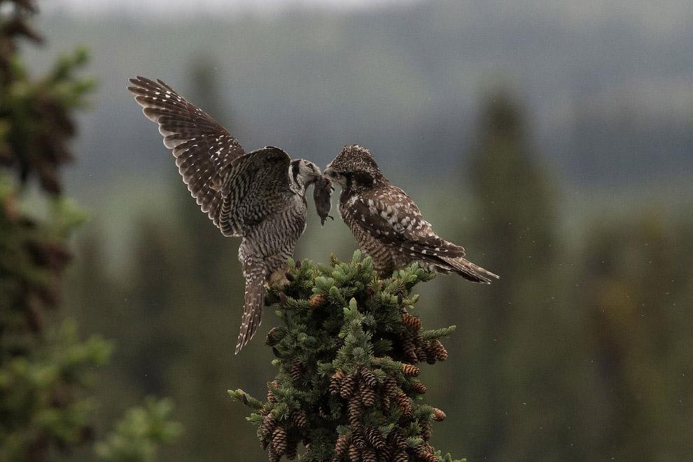 Ястребиные совы