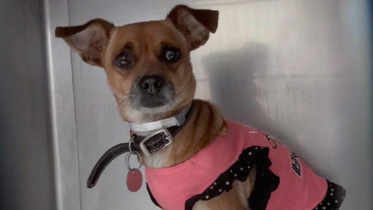 Брошенная маленькая чихуахуа, одетая в любимое розовое платье, плакала в ожидании усыпления...
