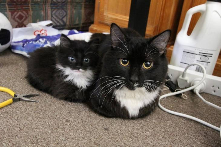 Кошка с мини-копией животные, смех, снимок