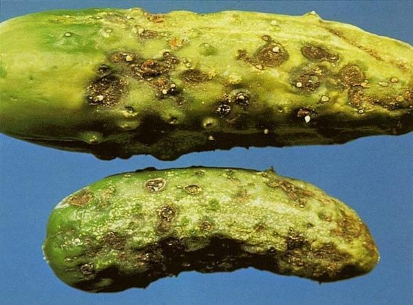 Кладоспориоз — бурая оливковая пятнистость Фото с сайта https://supersadovod.ru
