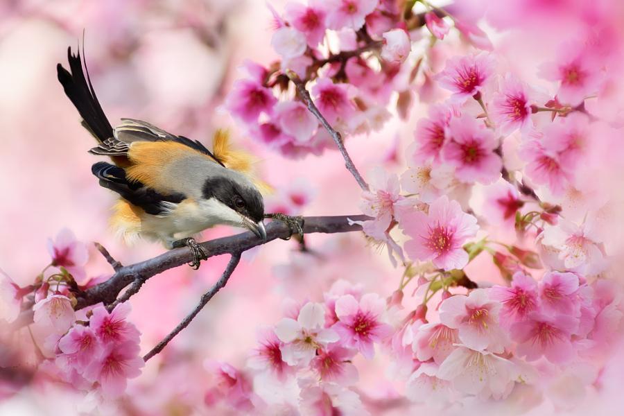~ Cherry blossom viewing ~, автор — FuYi Chen на 500px.com
