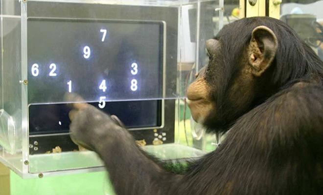 В 70-х годах прошлого века ученые учили шимпанзе считать и пользоваться компьютером. У обезьян получалось