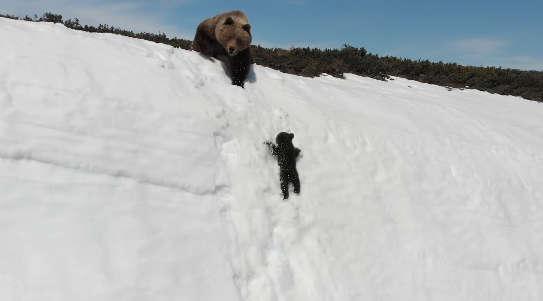 По снежному склону из последних сил карабкался медвежонок… А за этим наблюдал человек!