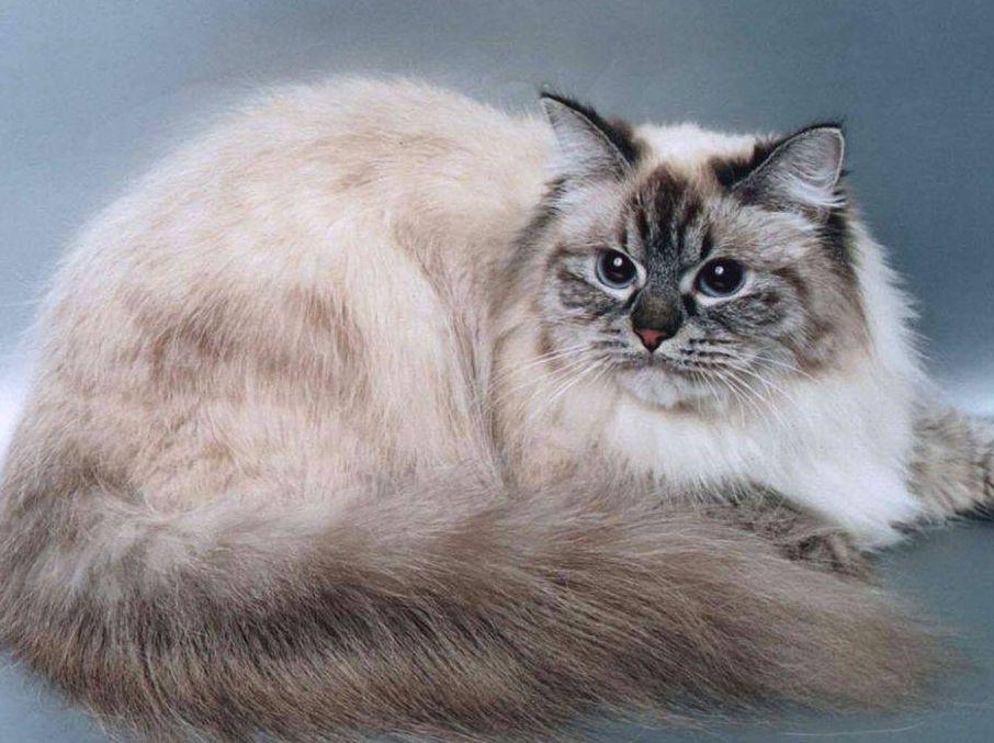 http://www.cats-british.ru/files/breeds/proishozhdenie_maskaradnoy_koshki.jpg
