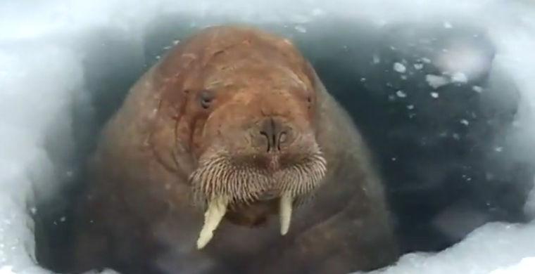 Морж на Ямале мешает вахтови…