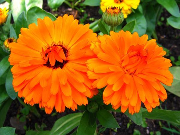Неприхотливые однолетники: простой способ украсить цветник