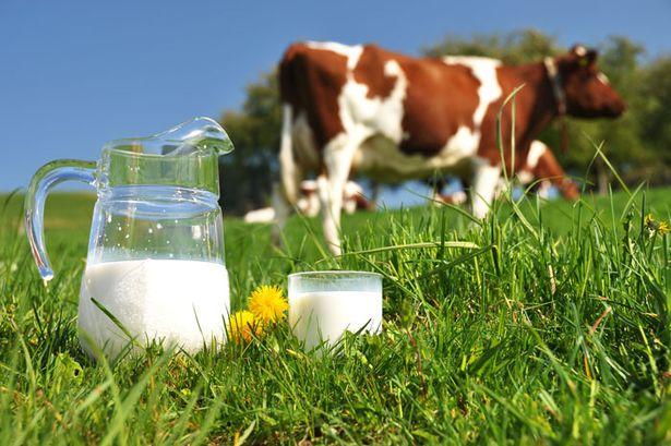 Коровы редко пасутся на лужайках