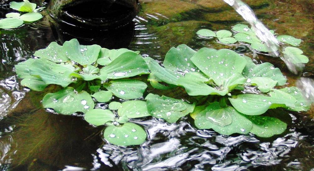 Пистия: растение водяной фильтр для искусственных и природных водоемов