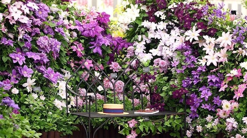 Хотите цветущую изгородь на все лето? Посадите клематисы!