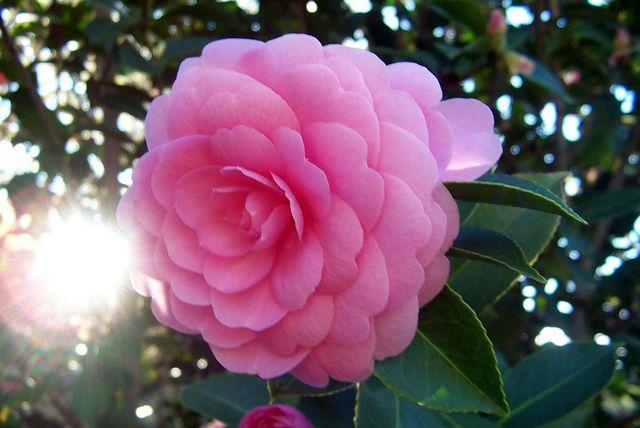 Как ухаживать за камелией в домашних условиях – цветы камея