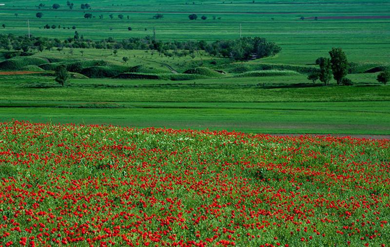 7. Наиболее распространен мак-самосейка, или Papaverales rhoeas, который произрастает во всех областях страны art, Кыргызстан, пейзаж, ссср, факты