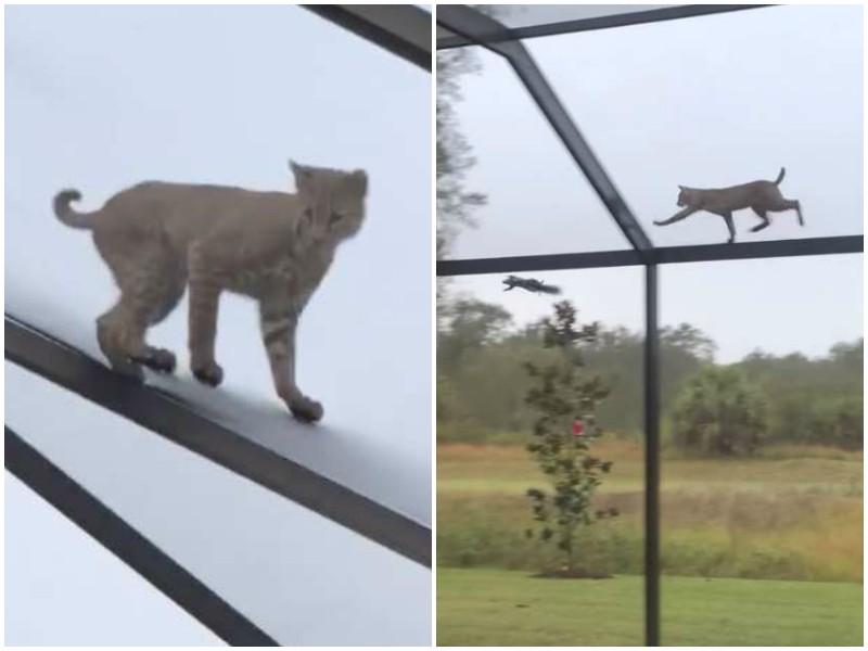 Женщина услышала шум во дворе дома, и обнаружила на крыше дикую рысь